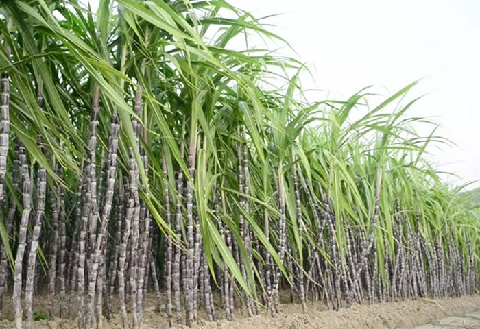 Mauritius to produce electricity out of sugar canes